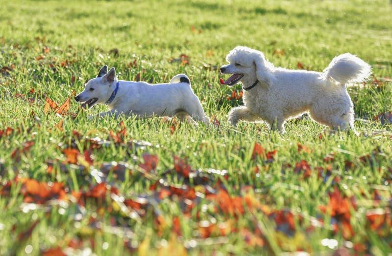 Os cães estão jogando foto de stock royalty free