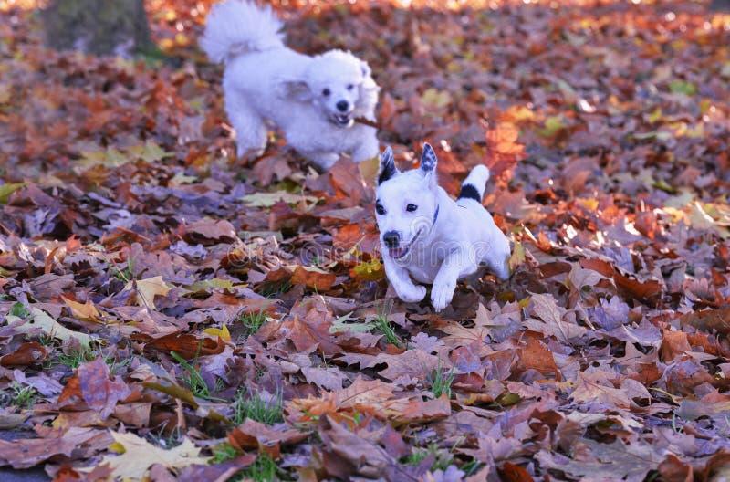 Os cães estão jogando fotos de stock royalty free