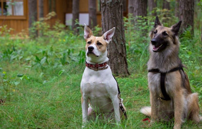 Os cães executam o comando sentar-se fotos de stock