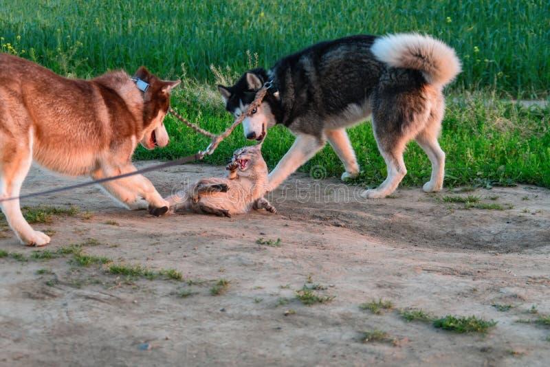 Os cães roncos travam um gato Siamese em uma caminhada Cão de puxar trenós Siberian que joga com o gato O gato fica irritado e lu imagem de stock