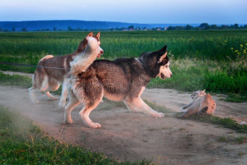 Os cães travaram o gato Dois cães de puxar trenós siberian travaram um gato siamese na estrada O gato é protegido do ataque Cães  foto de stock