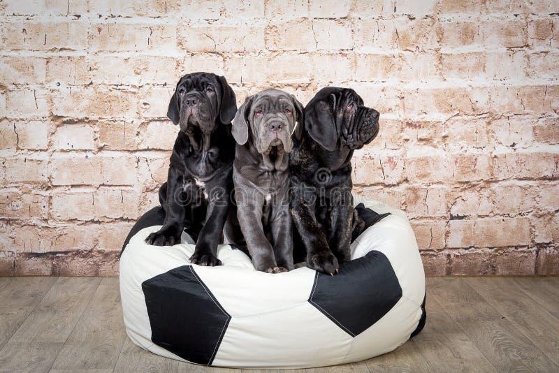 Os cachorrinhos cinzentos, pretos e marrons produzem Neapolitana Mastino Alimentadores de cão que treinam cães desde a infância imagens de stock royalty free