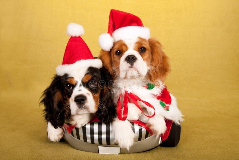 Os cachorrinhos descuidados do rei Charles Spaniel com Santa tampam chapéus no fundo amarelo fotografia de stock