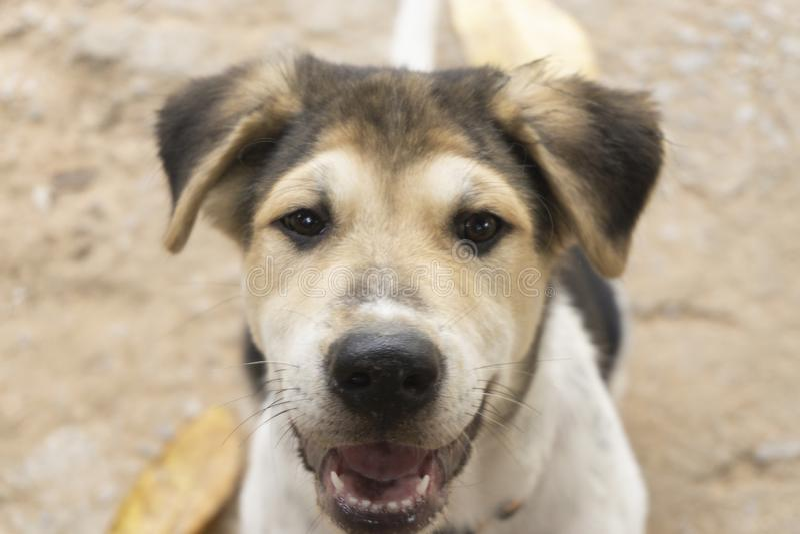 Os cachorrinhos são cabelo marrom, branco, preto, nariz preto, olhos marrons fotografia de stock