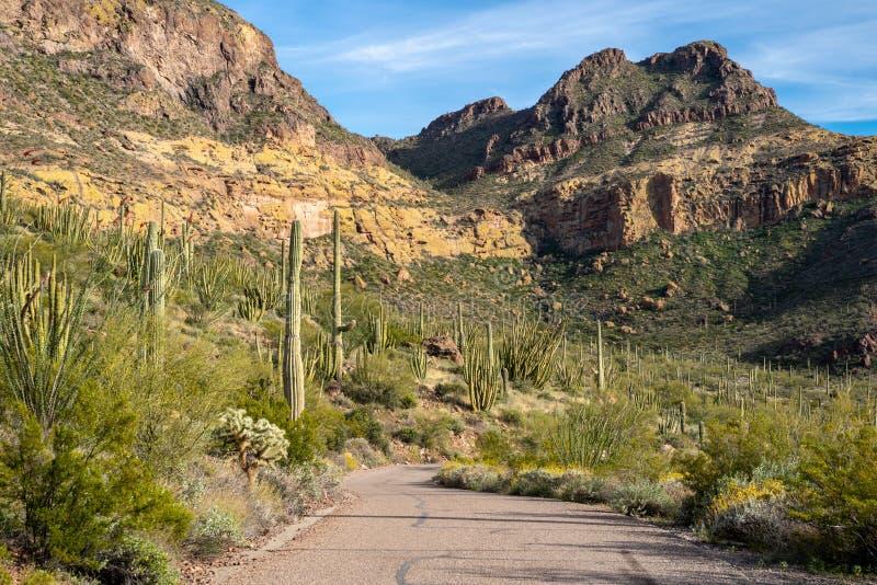 Os cactos do cacto e do Saguaro da tubulação de órgão crescem junto na harmonia ao longo da movimentação da montanha de Ajo no Ar imagem de stock