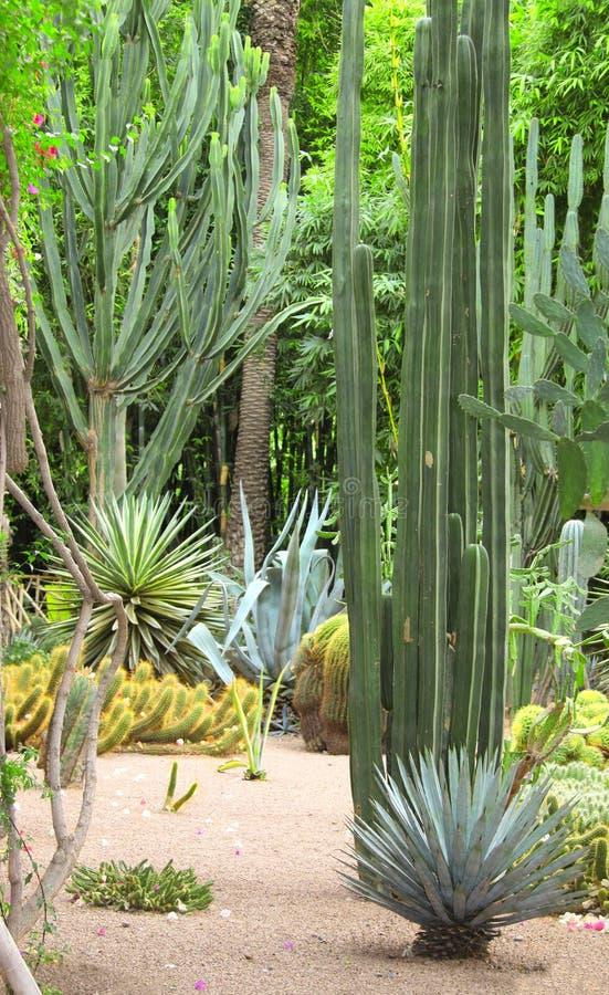 Os cactos e as plantas carnudas em Jardin Majorelle jardinam, C4marraquexe, Moro imagem de stock royalty free