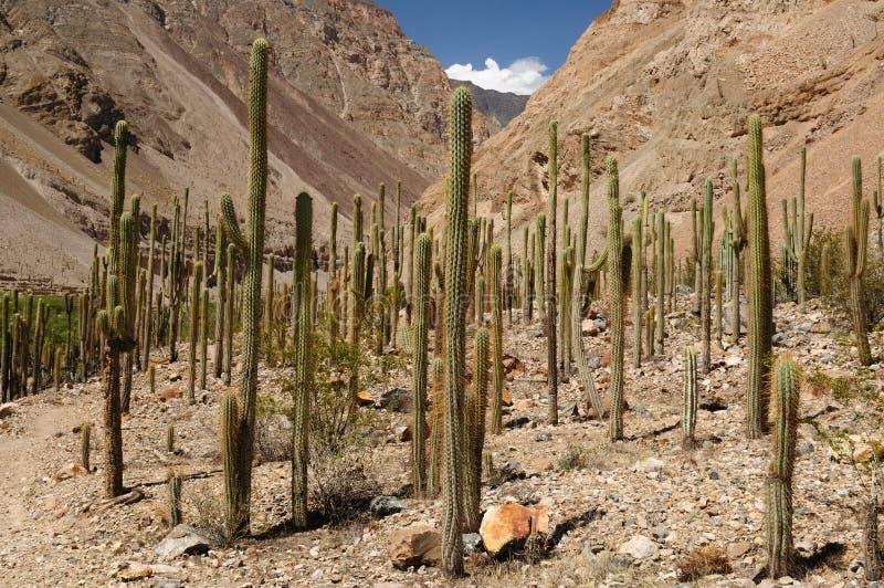 Os cactos elevam-se na garganta Cotahuasi, Peru foto de stock