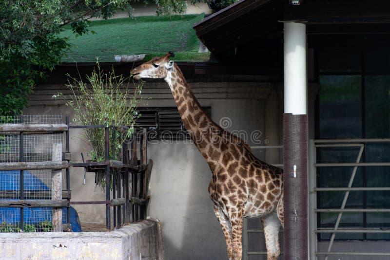 Os camelopardalis do Giraffa do girafa são um mamífero ungulate uniforme-toed africano, o mais alto de todas as espécies animais  imagem de stock