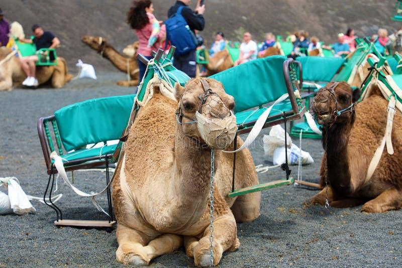 Os camelos com os turistas de descanso e de espera do focinho para chegar para o camelo montam no deserto do parque de Timanfaya, foto de stock