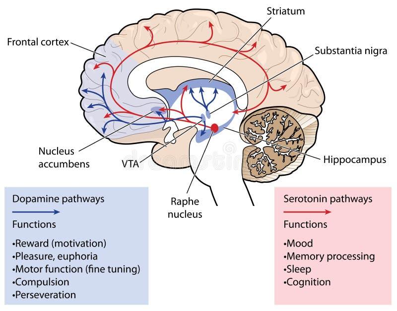 Os caminhos da dopamina e da serotonina no cérebro