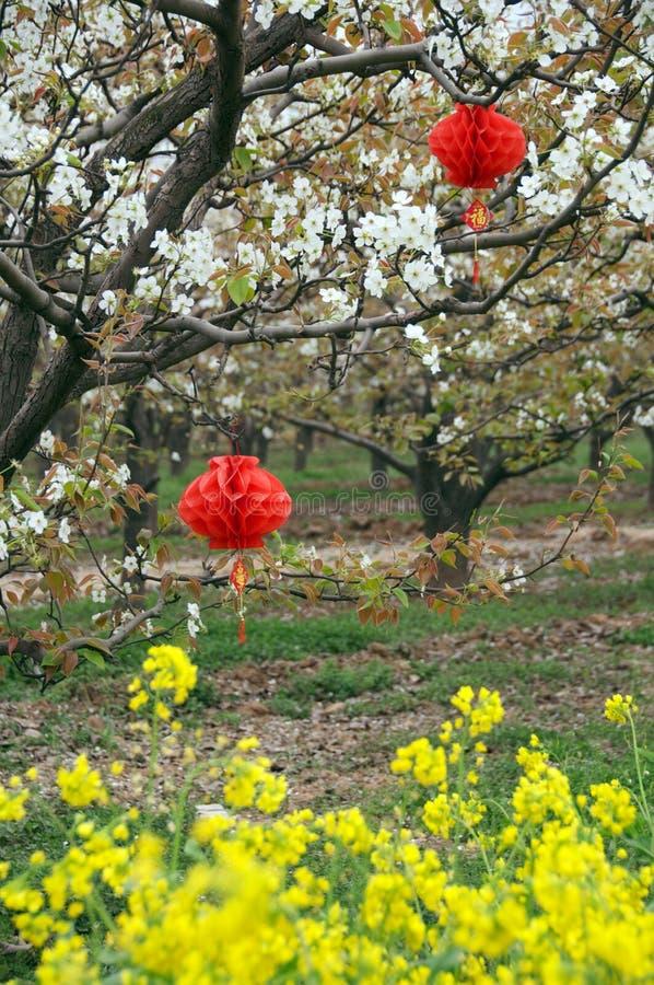 Os campos de flor de florescência da árvore e do Cole de pera imagem de stock