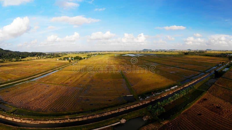 Os campos do arroz são dourados na tarde do outono imagens de stock
