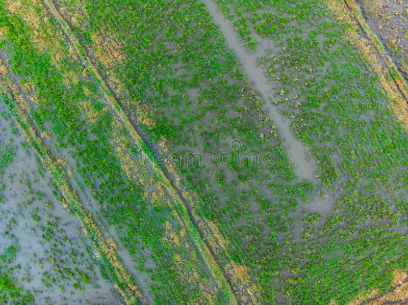 Os campos do arroz s?o inundados com ?gua Almofadas de arroz inundadas M?todos agron?micos de crescer o arroz nos campos flooding foto de stock royalty free