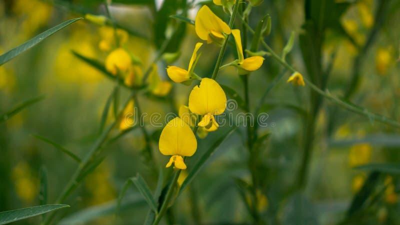 Os campos do cânhamo indiano das pétalas amarelas no fundo borrado da licença, sabem como o cânhamo de Madras ou o Sunn Crotolari fotos de stock