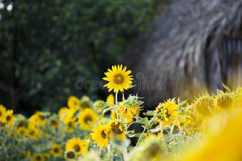 Os campos dos girassóis são agora uma terra comum fotos de stock