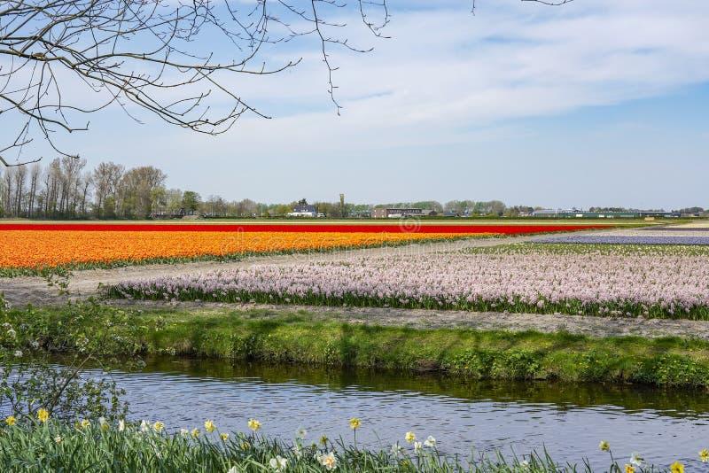 Os campos tipicamente holandeses do bulbo em torno da cidade de Lisse com as tulipas alaranjadas e vermelhas e os jacintos roxos  fotos de stock royalty free