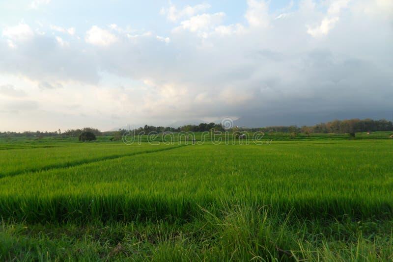 Os campos verdes do arroz trazem a felicidade imagens de stock