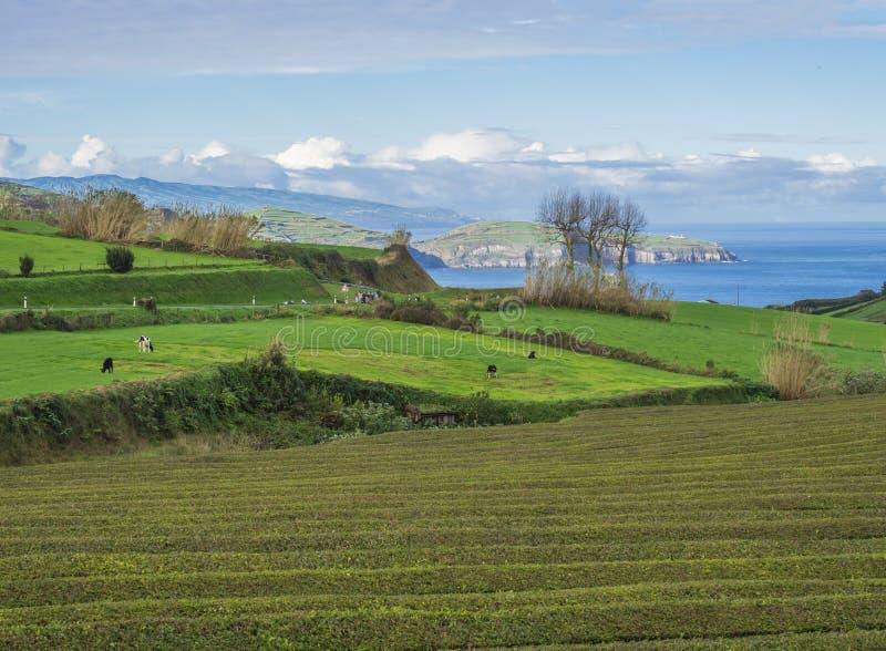 Os campos verdes pastam com pastagem do rebanho de vaca e penhascos litorais, oceano azul e horizonte do céu na costa norte do sa fotografia de stock