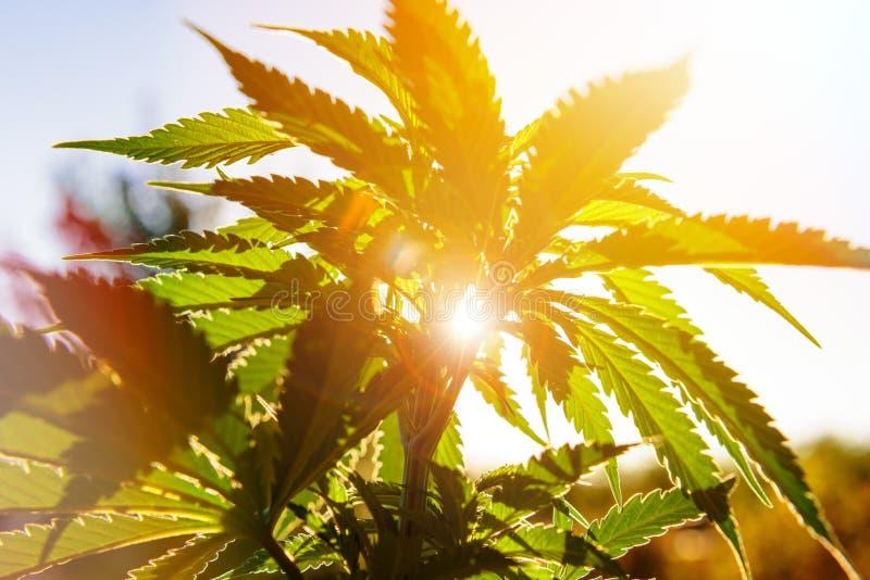 Os cannabis plantam na luz dourada do verão, fundo da marijuana fotos de stock royalty free