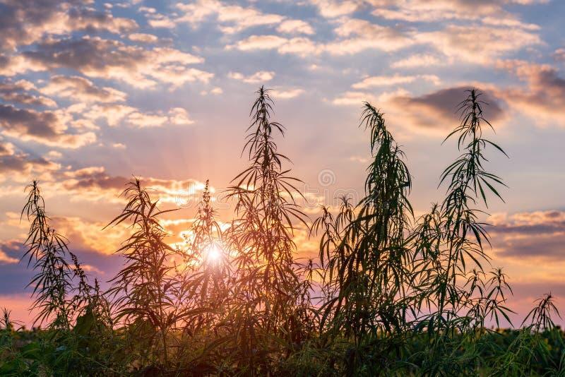 Os cannabis plantam na luz dourada do verão, fundo da marijuana com alargamento da lente fotografia de stock