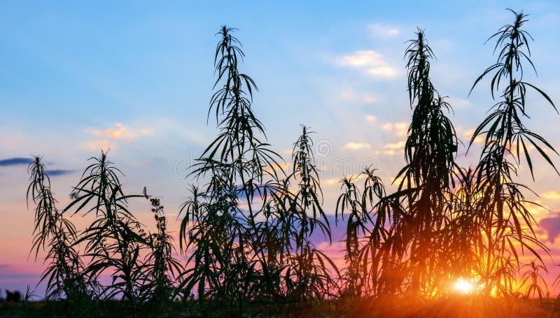 Os cannabis plantam na luz dourada do verão, fundo da marijuana com alargamento da lente fotografia de stock royalty free