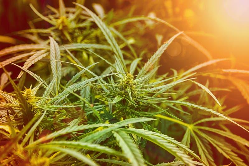 Os cannabis plantam na luz dourada do verão, fundo da marijuana com alargamento da lente foto de stock royalty free