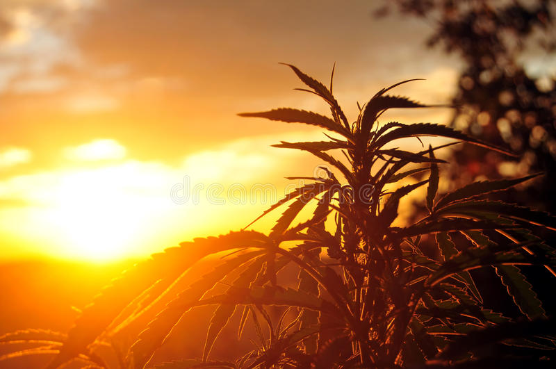Os cannabis plantam no nascer do sol foto de stock