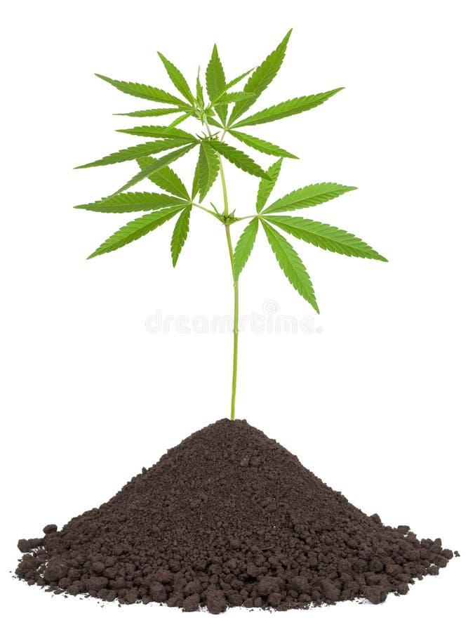 Os cannabis plantam no solo imagem de stock