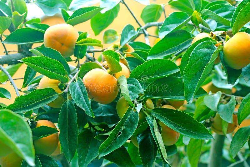Os caquis frutificam árvore e folhas fotos de stock royalty free