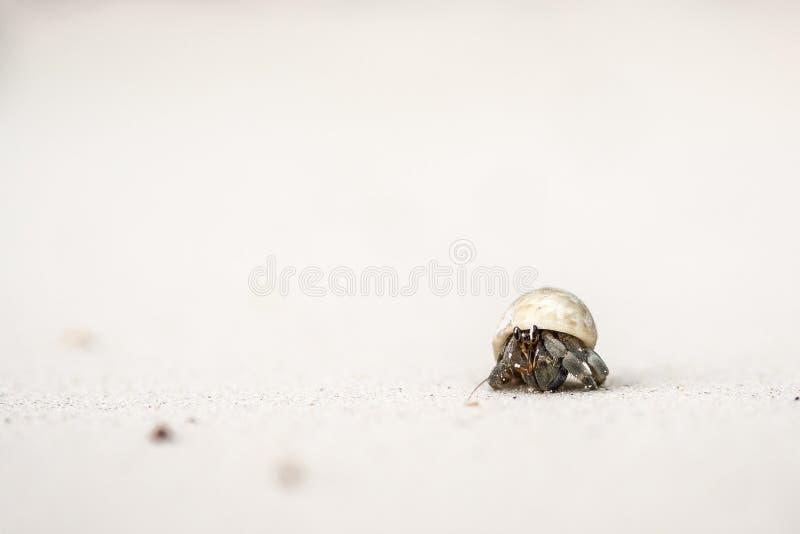Os caranguejos de eremita estão colando a cabeça fora do shell fotografia de stock