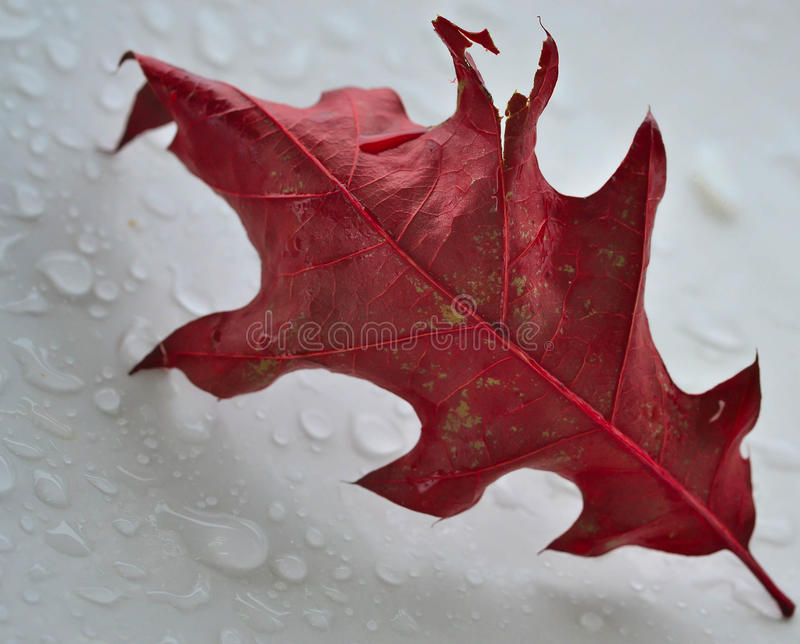 Os carmesins murcharam a folha em um fundo branco com gotas da água imagem de stock