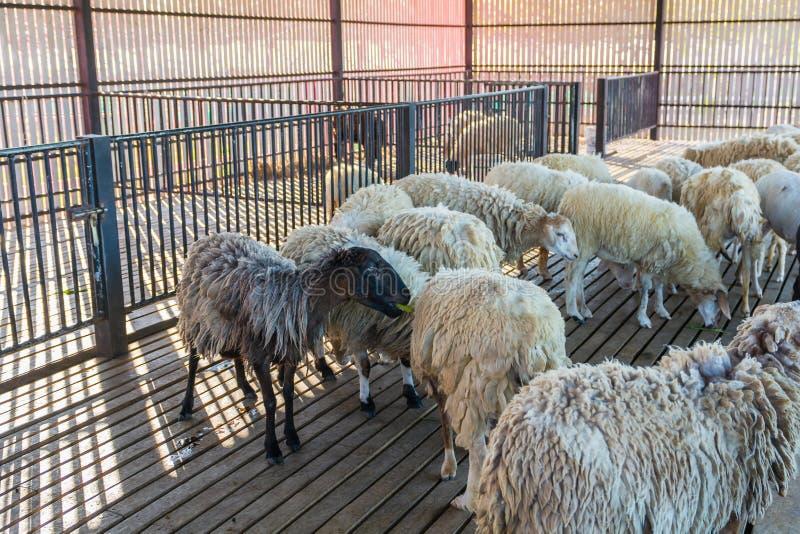 Os carneiros com fome atrás da gaiola nos carneiros cultivam imagens de stock