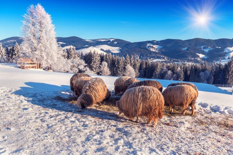 Os carneiros comem o feno na neve fotos de stock royalty free