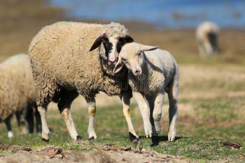 Os carneiros da m?e amam seu pouco cordeiro no prado foto de stock