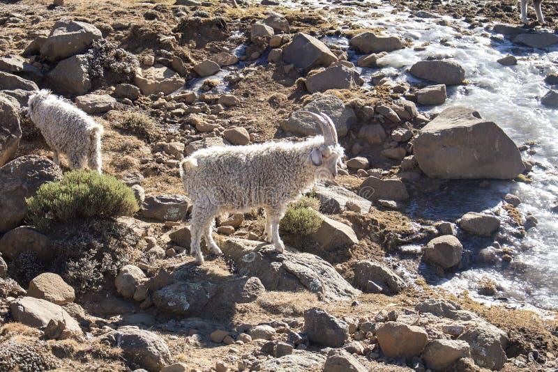 Os carneiros de Merino e as cabras do angora reunem a alimentação dentro Lesoto imagens de stock royalty free