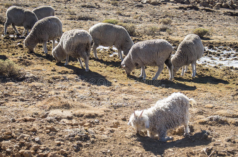Os carneiros de Merino e as cabras do angora reunem a alimentação dentro o Drakensberg, Lesoto imagem de stock