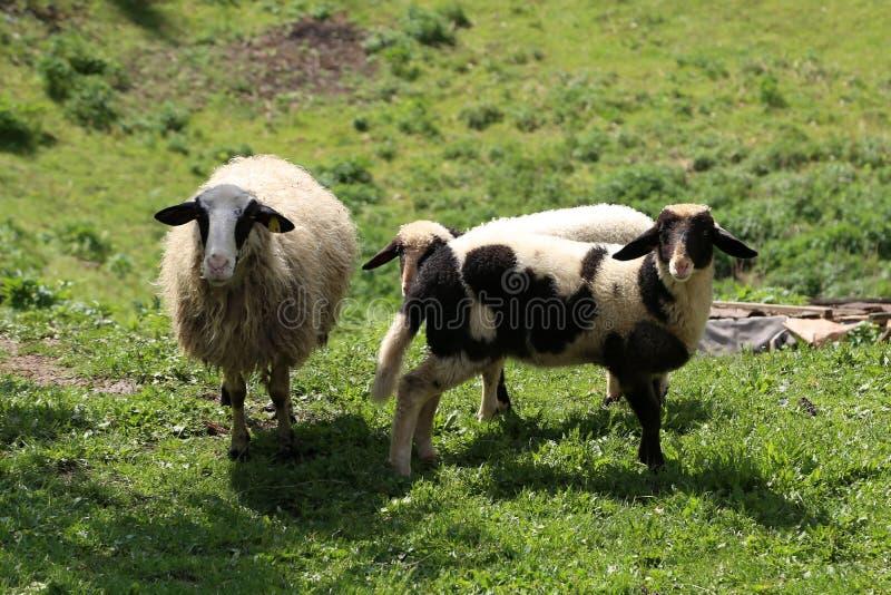 Os carneiros e as cabras pastam em um pasto foto de stock