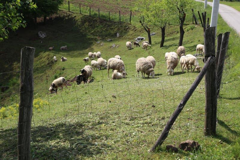 Os carneiros e as cabras pastam em um pasto fotos de stock