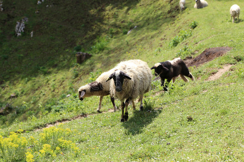 Os carneiros e as cabras pastam em um pasto foto de stock royalty free
