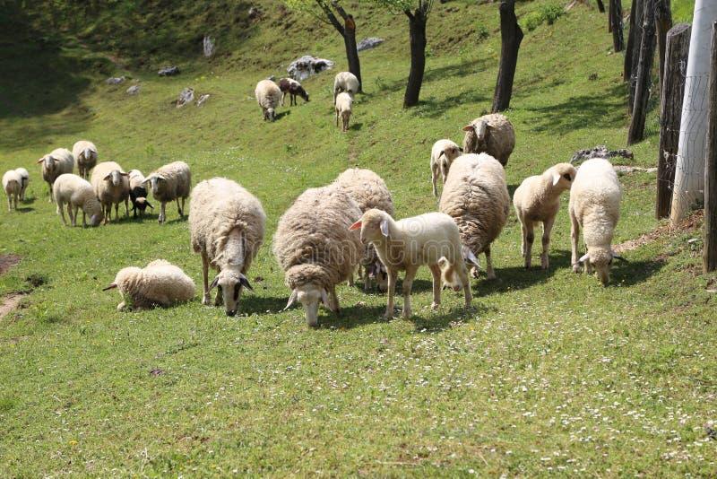 Os carneiros e as cabras pastam em um pasto imagem de stock