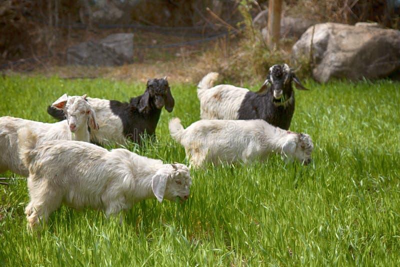Os carneiros e os cordeiros pastam em prados suculentos novos imagens de stock