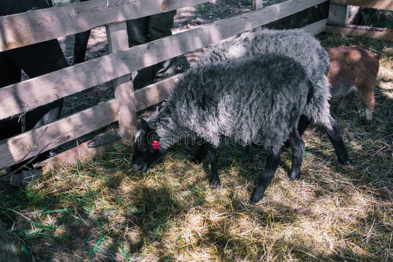 Os carneiros estão andando na grama no aviário da floresta com animais de estimação Dois carneiros cinzentos com focinhos pretos  foto de stock