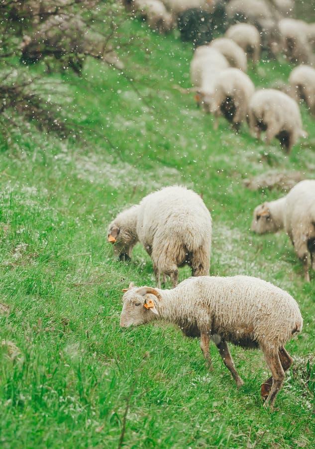 Os carneiros estão pastando na mola na montanha coberto de neve da inclinação closeup Foto vertical foto de stock royalty free