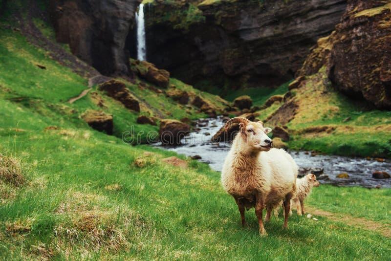 Os carneiros islandêses fotos de stock