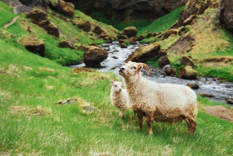 Os carneiros islandêses Cachoeira fantástica das vistas no parque nacional foto de stock royalty free