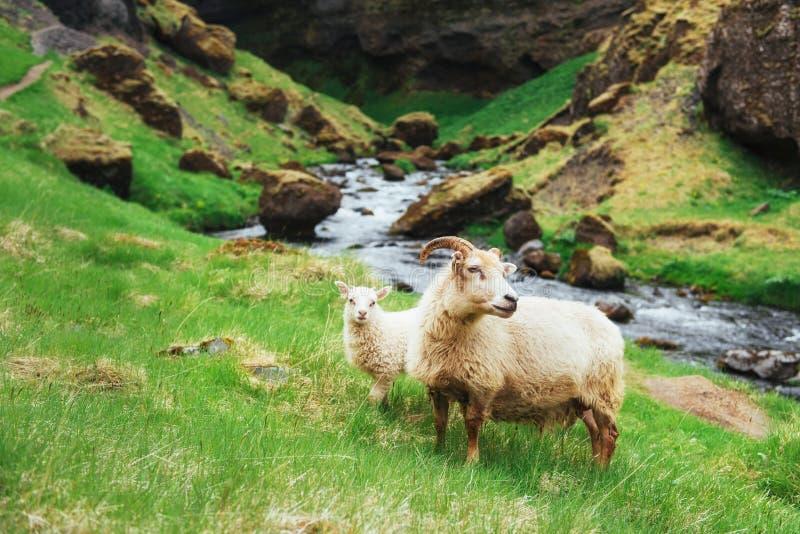 Os carneiros islandêses Cachoeira fantástica das vistas no parque nacional fotos de stock