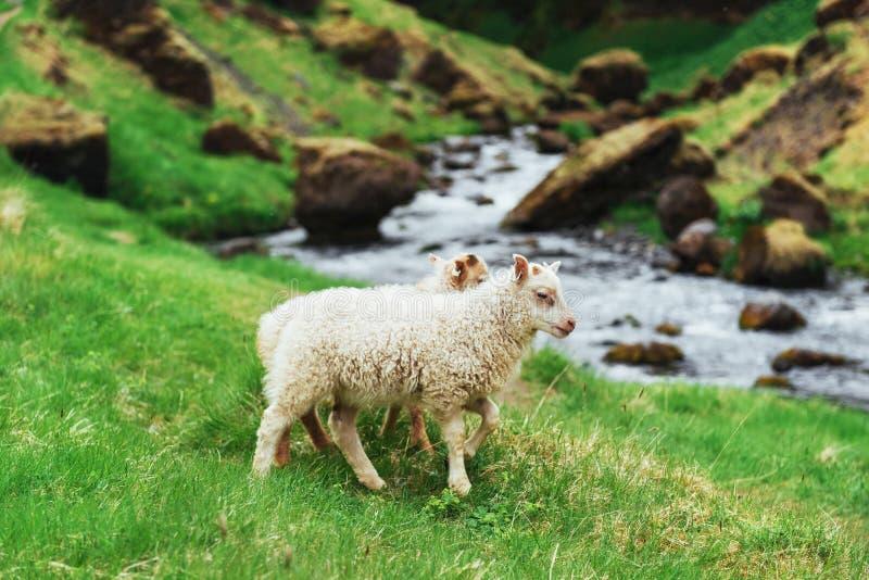 Os carneiros islandêses Cachoeira fantástica das vistas no parque nacional fotografia de stock royalty free