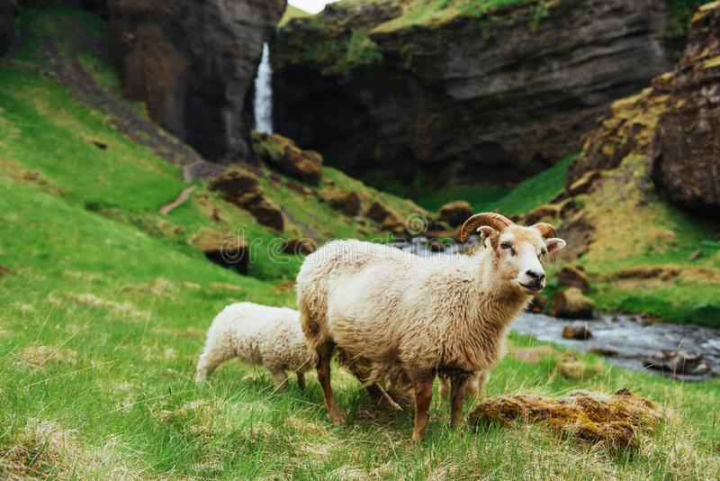Os carneiros islandêses Cachoeira fantástica das vistas no parque nacional imagem de stock royalty free