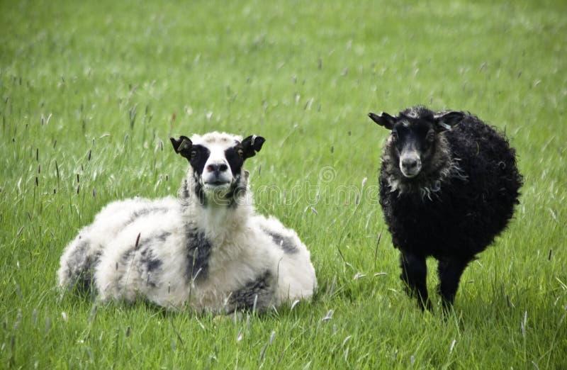 Os carneiros, a mãe e o cordeiro islandêses na mola verde colocam imagens de stock royalty free