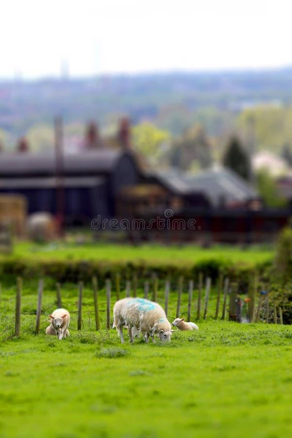 Os carneiros na inclinação da terra e deslocam A imagens de stock